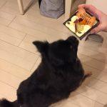 IMG 7371 e1482145098153 150x150 - チワワ君に誕生日プレゼント☆犬用ケーキでお祝いしたら超喜んだ!