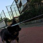 IMG 7538 150x150 - チワワが散歩で歩かない時にどうするか?【実体験から生まれた飼い主の知恵】