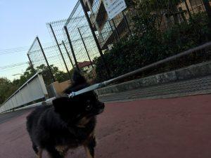 IMG 7538 300x225 - チワワが散歩で歩かない時にどうするか?【実体験から生まれた飼い主の知恵】