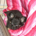 CIMG3224 150x150 - 子犬のときの医療費がえぐい・・。0歳からのペット保険の選び方。