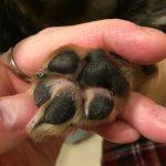 犬の肉球の間が赤いのはなぜ?腫れてる?指間炎の原因と改善事例!