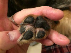 IMG 6798 300x225 - 犬の肉球の間が赤い、足の裏をよく舐めるのはなぜ?爪の付け根が腫れてる?2年間の軌跡と2019年現在の状況。