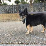 IMG 7587 150x150 - 犬を散歩させるときに起きやすいトラブル7選と応急対処法