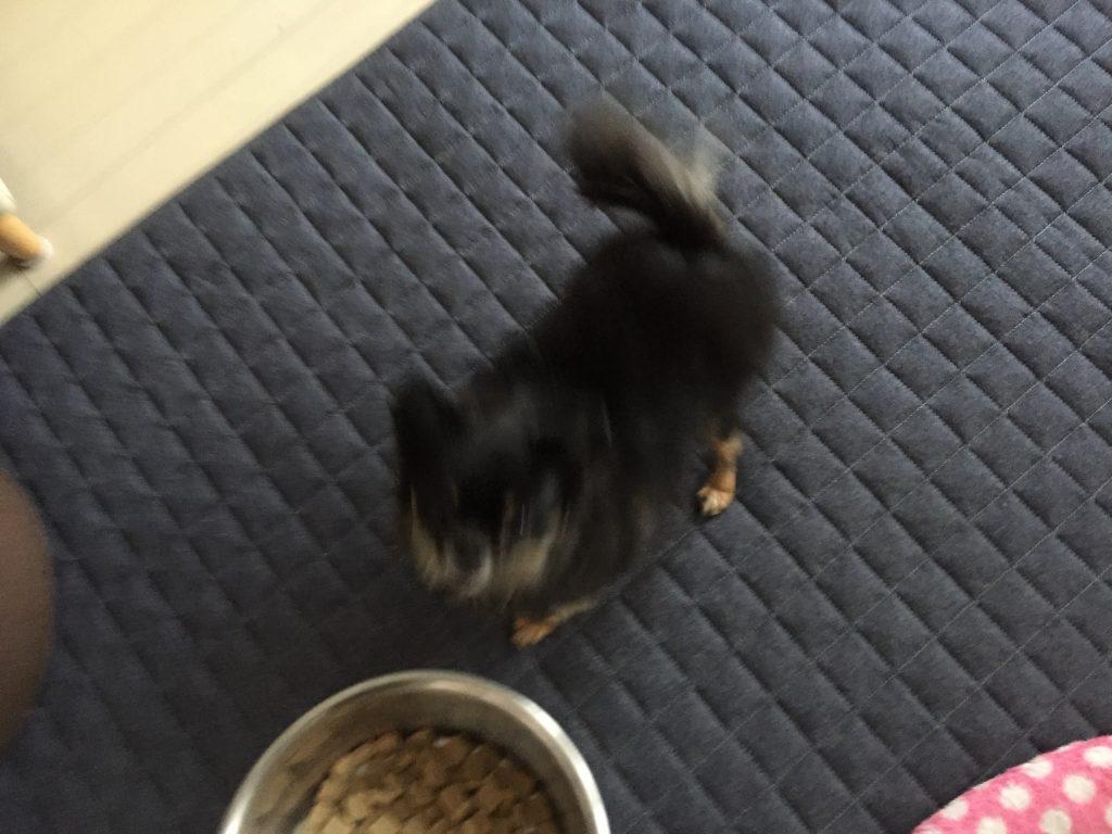 IMG 0639 1024x768 - 【リアル口コミ・評判】ドッグフードのマザープラスをチワワ君に食べさせてみた!