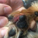 【※閲覧注意】チワワ君の悪化した趾間炎を動物病院で診てもらってきた。