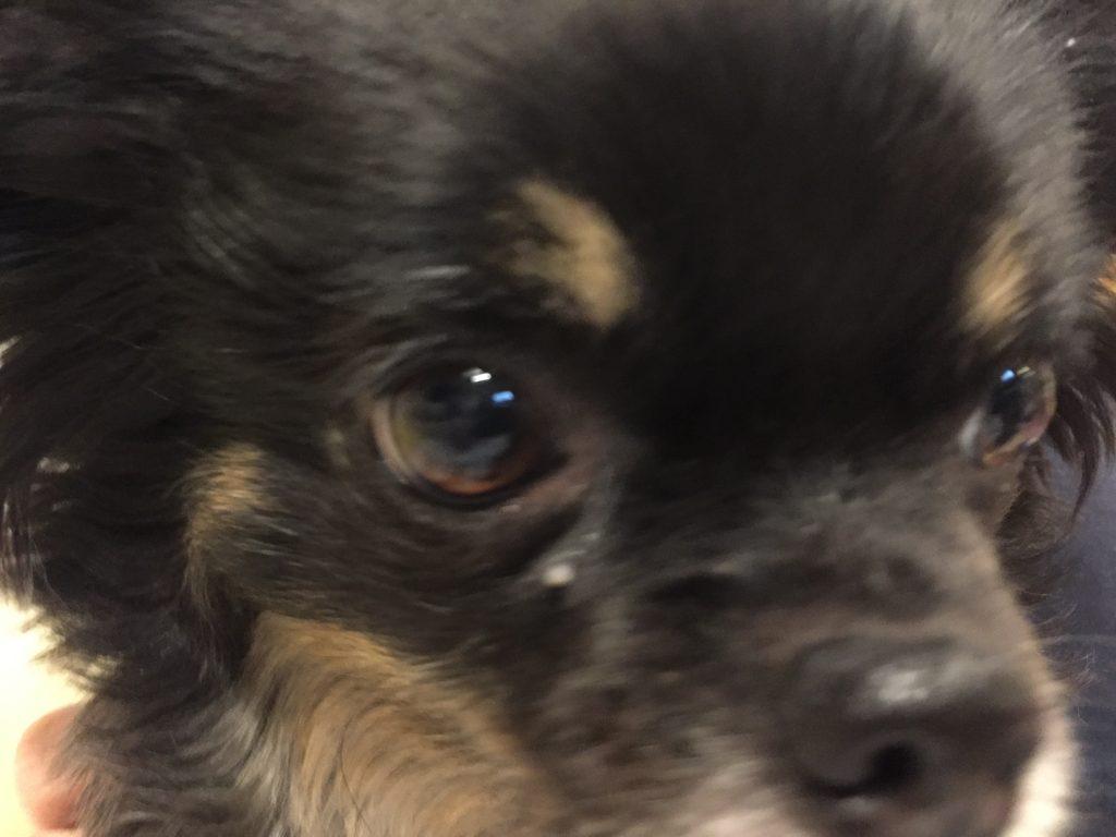 IMG 8808 1 1024x768 - 【2019年版】チェリーアイがOKなペット保険まとめ!なりやすい犬種と気になる治療費も。