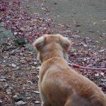 飼い犬のゴールデンレトリーバーに噛まれて赤ちゃんが亡くなった事件について。