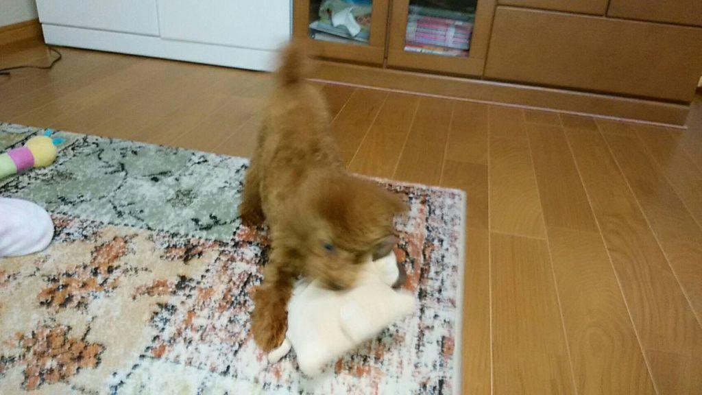 IMG 2761 1024x576 - 小型犬(プードル・チワワ)におすすめの丈夫な【ぬいぐるみ】のおもちゃまとめ