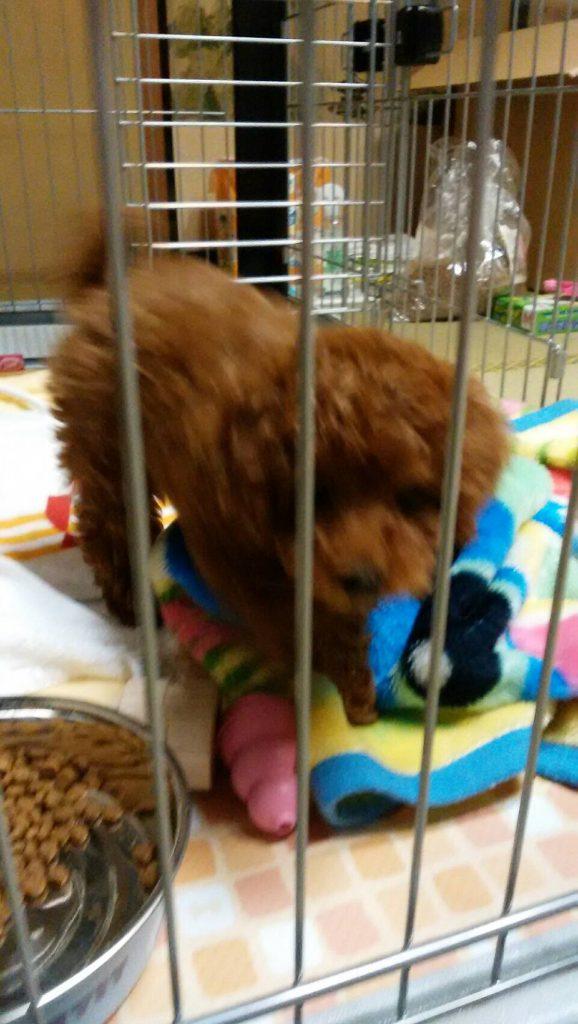 IMG 9136 578x1024 - 小型犬(プードル・チワワ)におすすめの丈夫な【ぬいぐるみ】のおもちゃまとめ