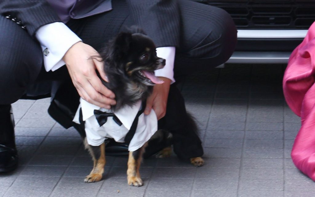 tiwawamaedori 1024x642 - 犬の結婚式での衣装はどうする?犬用のおすすめタキシード(スーツ)&ドレスも紹介!