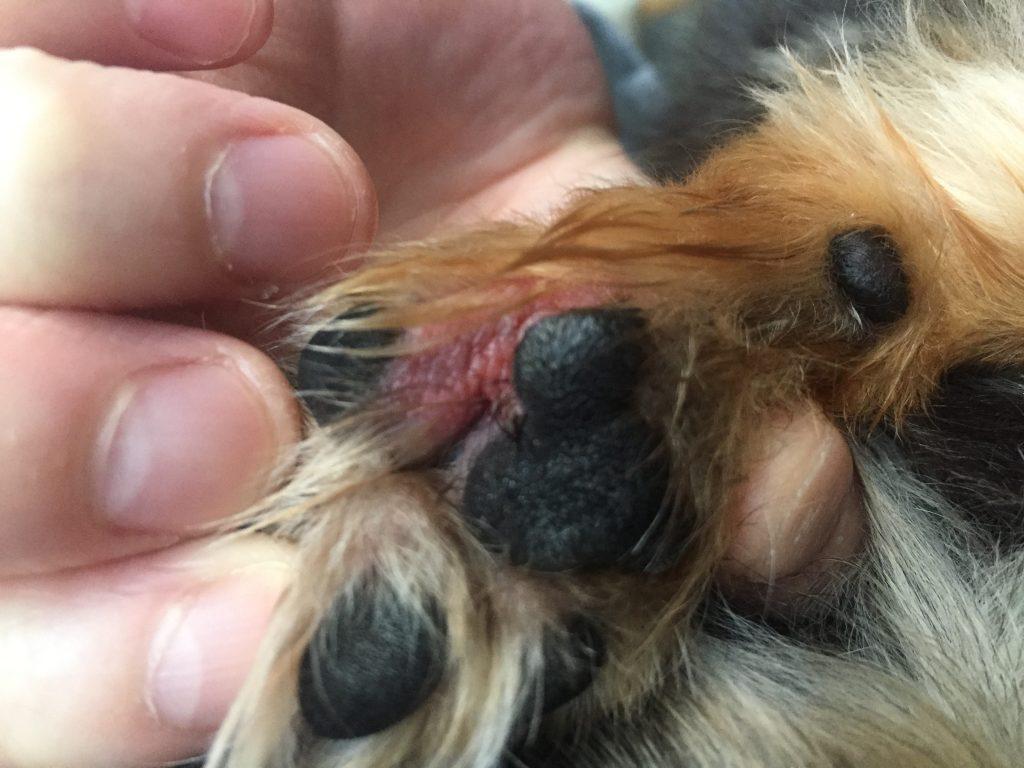 IMG 0770 1024x768 - 犬の肉球の間が赤い、足の裏をよく舐めるのはなぜ?爪の付け根が腫れてる?2年間の軌跡と2019年現在の状況。