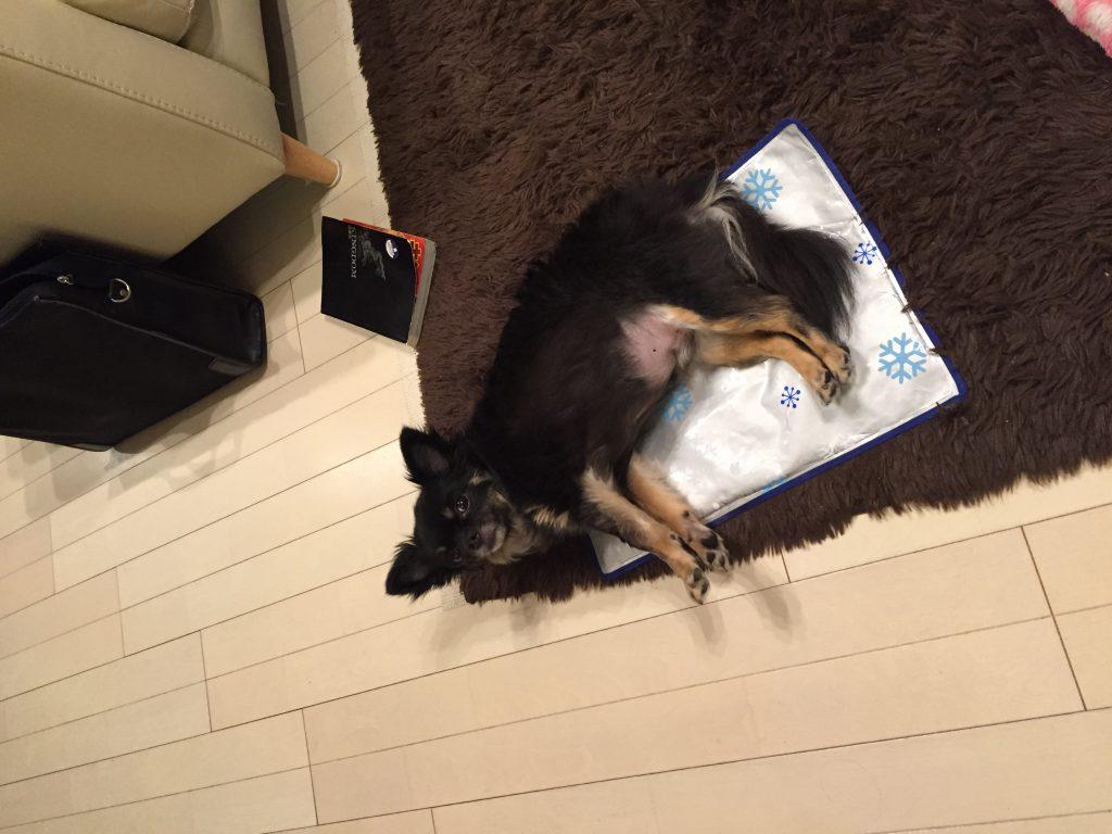 IMG 0327 1024x768 - 犬(うちのチワワ君)のあせもの赤み、湿疹と蒸れ対策について。