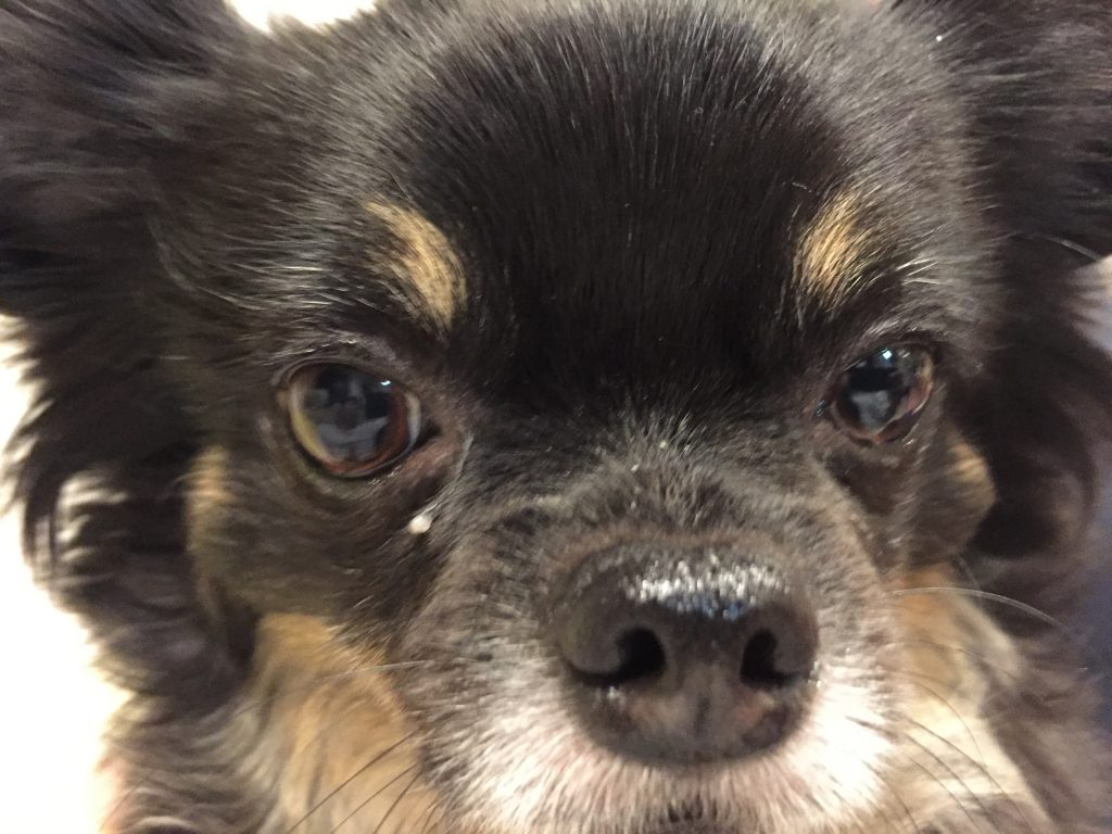 IMG 8809 1024x768 - 犬の核硬化症と加齢性白内障って何が違うの!?犬の白内障は加齢性でも怖い!!