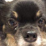 IMG 8809 150x150 - 犬の核硬化症と加齢性白内障って何が違うの!?犬の白内障は加齢性でも怖い!!