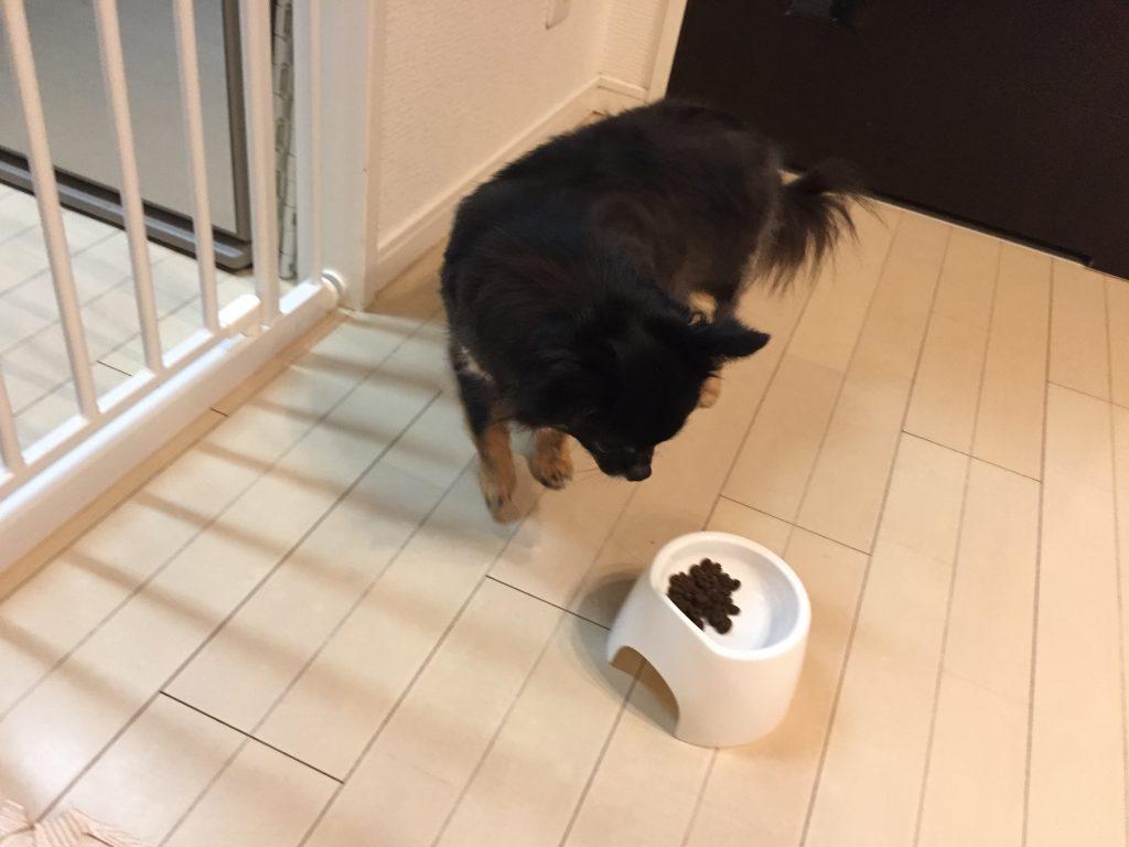 IMG 7971 1024x768 - 【ピッコロ】レティシアンのシニア犬用ドッグフードのリアル口コミ・評価&チワワ君の食いつきチェック!