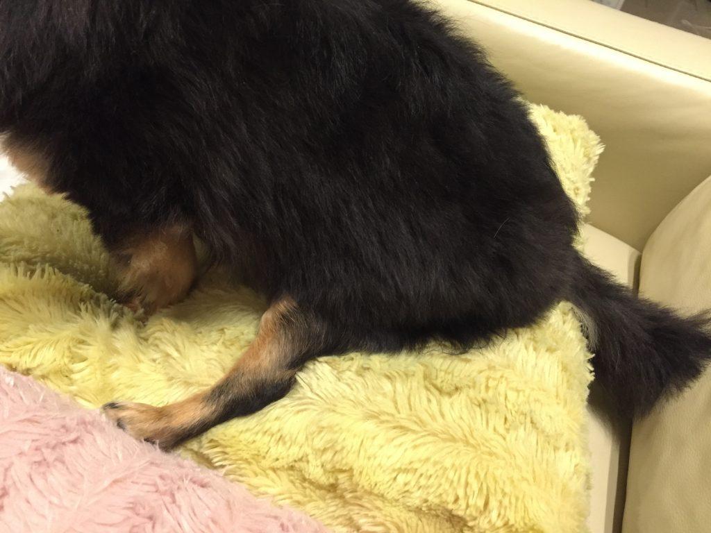 IMG 7424 1024x768 - チワワ君が膝蓋骨脱臼(パテラ)と診断される?手術やグレードなど獣医さんに聞いてみた。