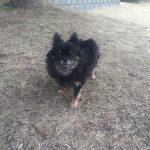 IMG 0637 150x150 - 犬が尿路結石になったら(もしくは予防にも)散歩はさせるべき?させないべき?
